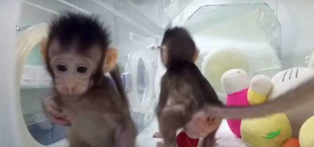 Kinezi uspešno klonirali dva makaki majmuna: Da li je kloniranje primata uvod u kloniranje ljudi?